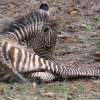 Ft. Worth Zoo Welcomes New Baby Zebra