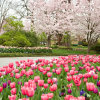 Dallas Blooms Festival  March 3 - April 8 at the Dallas Arboretum