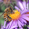 Will Spring Flowers Bring Back Honey Bees?