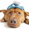 Canine Influenza, What is it and How Does it Spread?