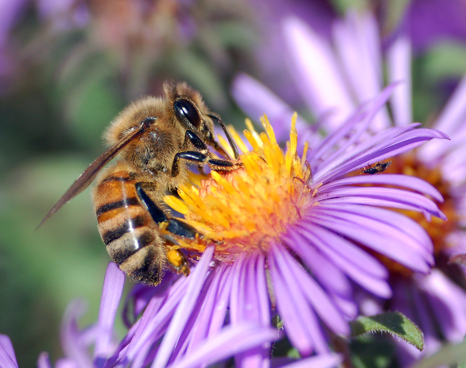 Will Spring Flowers Bring Back Honey Bees North Texas Kids