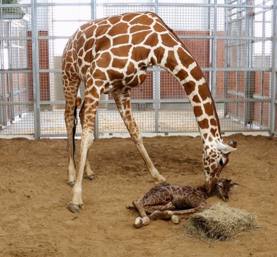 New Baby Giraffe Born at Dallas Zoo