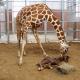New Baby Giraffe Born at Dallas Zoo